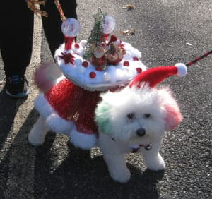 Reindog Parade 2016 with cute white dog dressed up in red and whote carrying gifts on back, Easton, MA